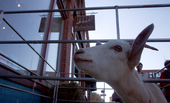 Tonni checks out the scene in front of Rabelais Books in Portland, Maine, site of Goatstravaganza II, a book event and so much more...