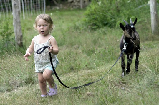"Walk (with goat) down memory lane: Charlotte, 2, takes ""Balls,"" the first kid born on Ten Apple Farm for a walk"
