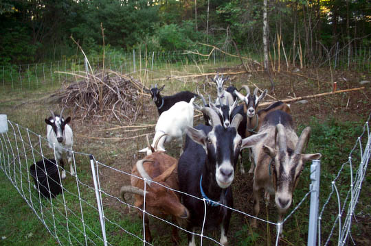 "The goats have been doing their fair share of eating too. They cleared this patch in one day (see previous picture for the ""before"".)"