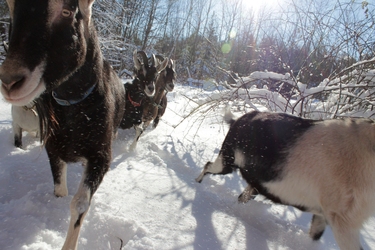 A winter goat hike with the herd, a great way to spend New Year's day.
