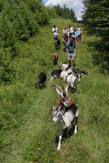 Goat hiking
