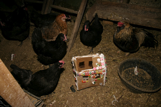 """Like the Romans of old, the chickens surround and begin to dismantle our holiday """"ginge-agogue"""""""