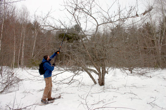 Dave Home demonstrates the use of an extension pruning saw on one of our apple trees during the tree pruning workshop on Sunday