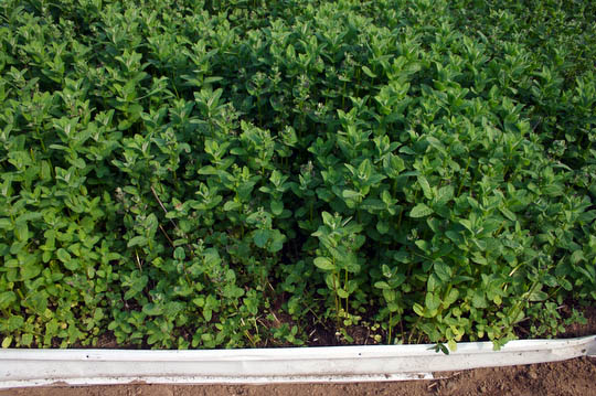 A sea of mint, held in check now with our makeshift levee of aluminum gutter