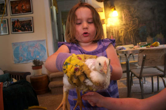 Charlotte helps move the broilers from their brooding box in the house, to their holding pen in the barn