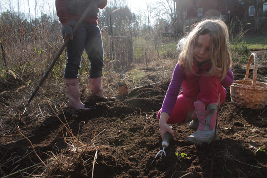 Charlotte helps to dig up the last of the potatoes