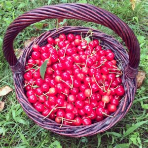 Montmorency cherries!